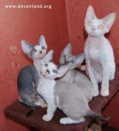 Питомник девон рексов DEVONLAND: Котята девон рекс. Малыш Квентин ждет свою семью.