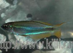 Platoplochilus ngaensis