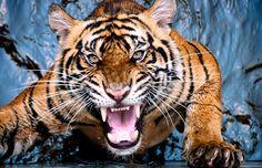 tiger scream by Robert Cinega - Animals Lions, Tigers & Big Cats ( staff favorites
