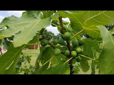 (1413) My Fig Growing Methods! An In Depth Discussion! Orchard Update. 7/11 - YouTube Growing Fig Trees, Vacation, Garden, Youtube, Vacations, Garten, Lawn And Garden, Gardens, Holidays Music