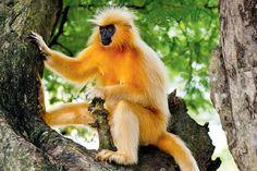 16. Golden Monkey