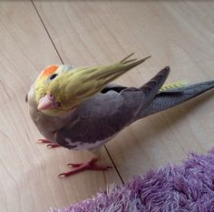 Are you Allen Funt? Cute Birds, Pretty Birds, Beautiful Birds, Cockatiel, Budgies, Colorful Birds, Exotic Birds, Feathered Dinosaurs, Little Birds
