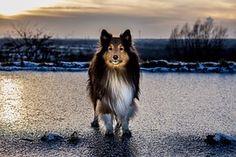 Sheltie, Eis, Sonnenuntergang, Winter