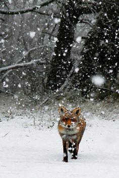 Fox in snow winter Beautiful Creatures, Animals Beautiful, Cute Animals, Angry Animals, Fox In Snow, Fennec, Wolf Hybrid, All Gods Creatures, Jolie Photo