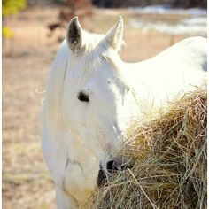 Straight Egyptian Arabian Mare - Malawi PG