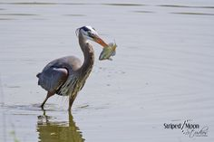 A Great Blue Heron catching his lunch