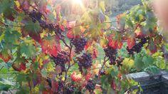 Wein, im 2.Jahr schon voller Trauben, dunkler Dattelwein