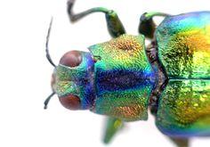 Indian beetle head