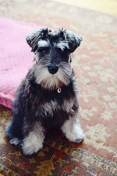 best dog you will ever have, a mini schnauzer.