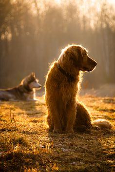 All this makes me think of is Shadow from Homeward Bound <3