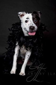 Meet Cruella, an adoptable Australian Cattle Dog (Blue Heeler) looking for a forever home. If you're looking for a new pet to adopt or want information on how to get involved with adoptable pets, Petfinder.com is a great resource.