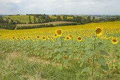 Tournesols / Sunflowers. Gascogne, France. Photo: Kajsa Hartig.