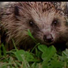 Garden visitor of the cute variety...the Hedgehog! :)
