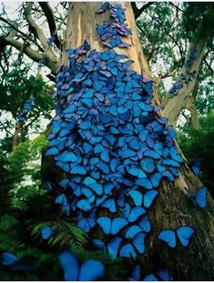 Morpho butterfly South America