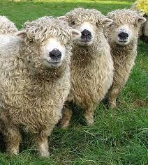 grey faced dartmoor - Just adorable