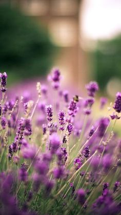 purple, lavender, plant, flowers, nature wallpaper and desktop background 83172 Flowers Nature, Lavender Flowers, Wild Flowers, Beautiful Flowers, Nature Desktop Wallpaper, Wallpaper Backgrounds, Photo Backgrounds, Flower Background Wallpaper, Flower Backgrounds