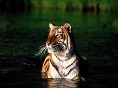 tigres nadando - Imágenes, fondos de pantallas y fotos