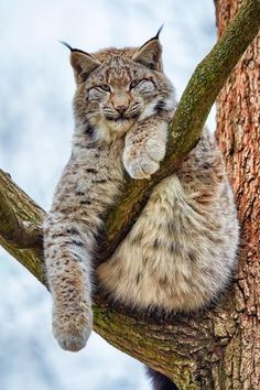 Russian Blue Cats Luchs - amazing … when animals attack . Lynx Du Canada, Cool Cats, Beautiful Cats, Animals Beautiful, Gato Grande, Rare Animals, Strange Animals, Wild Animals, Tier Fotos