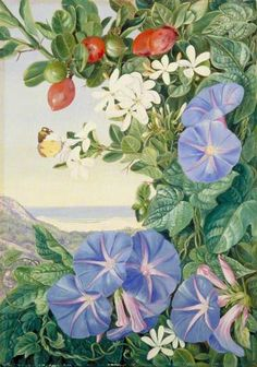 Amantungula in Flower and Fruit, and Blue Ipomoea, South Africa by Marianne North; c. 1882; Oil on board; Collection: Royal Botanic Gardens, Kew, England