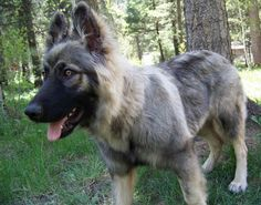 Yuma -   Image result for alsatian shepalute wikipedia