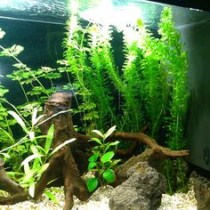 1000 images about aquariums plants on pinterest for How to remove algae from pond without harming fish