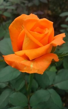 Rose in orange. Amazing Flowers, Beautiful Roses, Beautiful Gardens, Beautiful Flowers, Orange Flowers, Yellow Roses, Red Roses, Types Of Roses, Love Rose