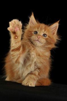 AmbientCat Iriska, maine coon kitten