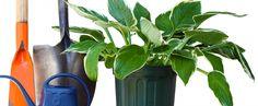 Sadzenie roślin ogrodowych -termin, gleba i rozstawa Lavandula Angustifolia, Blue Pearl, Backyard, Pearls, Garden, Pink, Compost, Yard, Garten