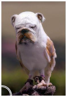 Tired lookin' bullbird