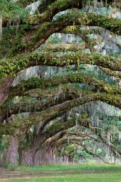 Live Oak trees draped in Spanish moss, Charleston, SC