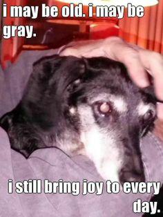 I may be old. I may be gray. I still bring joy to every day. Baron the Dachshund.