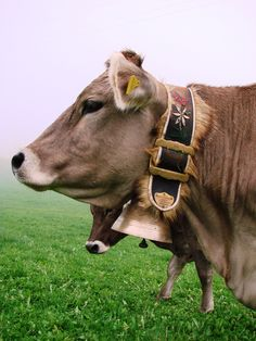 Swiss cows do have bells, to stop them getting lost high in the alpine pasture. The breed - well Brown Swiss of course!