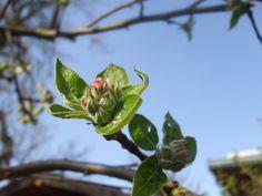 Beginn der Apfelblüte