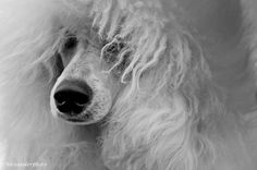 View III by Aleksandar Dudic, via Best Dog Breeds, Best Dogs, Red Poodles, Kinds Of Dogs, My Buddy, Dog Photos, I Love Dogs, Pet Portraits, Polar Bear