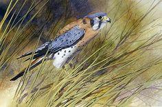 Kestrel, detail by Joe Garcia Watercolor ~ 7 x 15