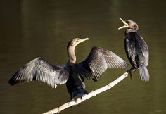 Double-crested cormorants by Mike's Birds