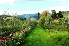 garden and olive trees orchard of  Villa Il Paradisino