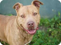 Los Angeles, CA - Staffordshire Bull Terrier/Chesapeake Bay Retriever Mix. Meet BELLA, a dog for adoption. http://www.adoptapet.com/pet/17873864-los-angeles-california-staffordshire-bull-terrier-mix