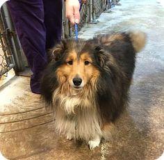 12/24/15 Benton, LA - Sheltie, Shetland Sheepdog. Meet Nugget, a dog for adoption. http://www.adoptapet.com/pet/14594138-benton-louisiana-sheltie-shetland-sheepdog