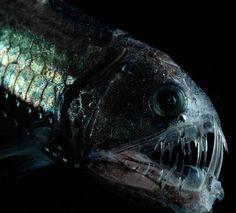 Deep Sea Dragon Fish   Dragonfish facts