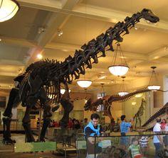 Apatosaurus (formerly Brontosaurus)