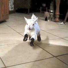 Pygmy goat!!!  Too cute!!!