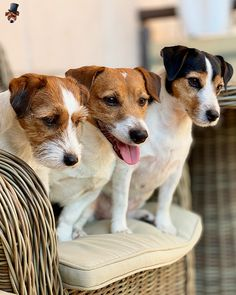 Parson Jack Russell, Parson Russell Terrier, Jack Of Hearts, Celebrity Dogs, Dogs And Puppies, Doggies, Dogs Of The World, Little Dogs, Pets