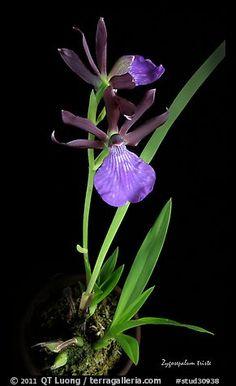 Picture/Photo: Zygosepalum triste. A species orchid