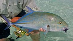 Bluefin trevally #fishing #wicked catch