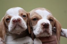 These are Split-nosed Catalburun puppies! That's no deformity; that's how a Catalburun's nose naturally and normally looks like!