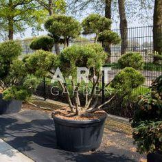 Arbre Nuage japonais - Bonsai Geant Pinus mugo mughus