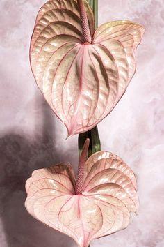 Think pink, anthurium edition. Tropical Flowers, Hawaiian Flowers, Colorful Flowers, Wild Flowers, Planting Flowers, Flowers Garden, Indoor Plants, House Plants, Floral Arrangements