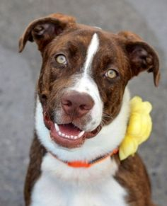 Brooklyn Center NYLA – A1051234 FEMALE, BROWN / WHITE, AM PIT BULL TER MIX, 10 mos STRAY – STRAY WAIT, NO HOLD Reason STRAY Intake condition EXAM REQ Intake Date 09/12/2015 http://nycdogs.urgentpodr.org/nyla-a1051234/