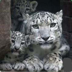 Snow leopard cubs and their mother.